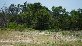 черные самецы оленя Стоковые Изображения RF