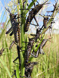 черные саранчуки стоковые изображения rf