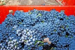 черные свежие виноградины стоковые изображения