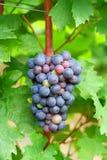 черные свежие виноградины стоковая фотография