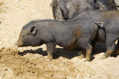 черные свиньи Стоковая Фотография