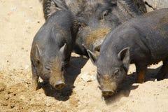 черные свиньи Стоковая Фотография RF
