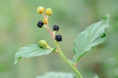 Черные семена на ветви с зелеными листьями Стоковое Изображение RF
