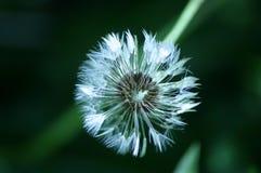черные семена Стоковые Фотографии RF