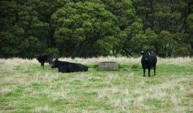 Черные скотины, крест в paddock, Otway Ангуса, Виктория, Австралия, Augriculture, животноводческие фермы, коровы, икры Стоковая Фотография RF