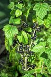Черные смородины Буша зрелые и тли бича на ягодах и листьях Стоковые Изображения