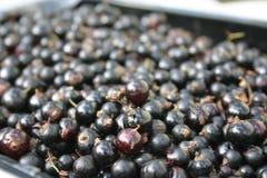 черные смородины Стоковое Фото