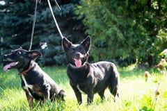Черные собаки внешние в траве лужайки зеленого цвета леса лета Стоковые Фото