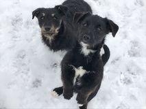 Черные собаки младенца на снеге Стоковая Фотография