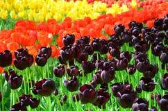 Черные также вызванные тюльпаны Стоковое фото RF