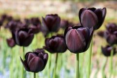 черные темные тюльпаны пурпура группы Стоковые Изображения