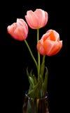 черные тюльпаны Стоковые Изображения