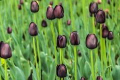 черные тюльпаны Цветник весны в парке Стоковая Фотография
