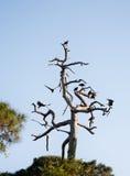 Черные хищники сидя na górze сухой древесины Стоковое Изображение RF