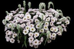 черные хризантемы белые Стоковое Фото