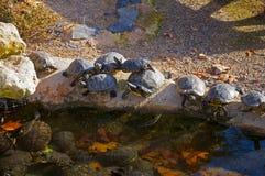 Черные черепахи имея солнце в береге небольшого пруда стоковая фотография