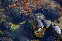 Черные черепахи имея солнце в небольшом пруде стоковые фото