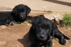 Черные щенята Лабрадора сидя в грязи Стоковые Фото