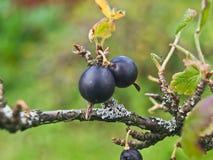 Черные ягоды на ветви Буша Стоковое фото RF