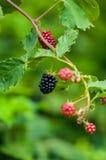 Черные ягоды на лозе стоковое изображение