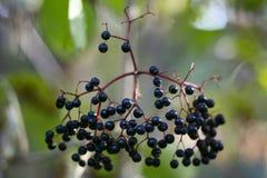 Черные ягоды стоковые фото