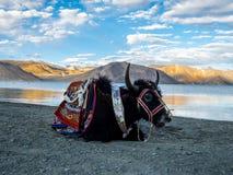 Черные яки на береге озера, озере Pangong Стоковые Изображения