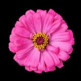 черные blossoming elegans изолировали розовый zinnia Стоковые Фото