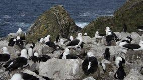 Черные browed альбатрос и пингвины Rockhopper сток-видео