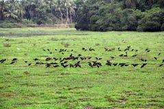 Черные Egrets подавая на дне озера Стоковые Изображения RF