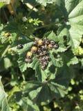 Черные Ladybugs стоковое изображение rf