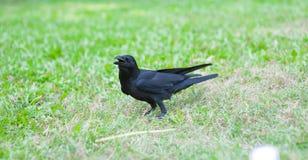 Черные macrorhynchos Corvus птицы в парке Стоковое Изображение