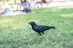 Черные macrorhynchos Corvus птицы в парке Стоковые Фотографии RF