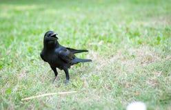 Черные macrorhynchos Corvus птицы в парке Стоковое Изображение RF