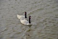 Черные necked лебеди на озерах Qudra Al, Дубай Стоковые Изображения
