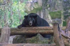 Черный азиатский медведь Стоковые Фото