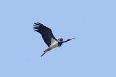 Черный аист в полете Стоковые Изображения RF