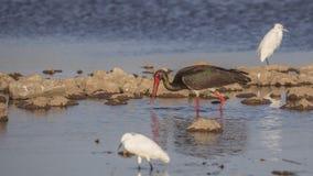 Черный аист и маленькие Egrets Стоковое Изображение