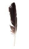 черный аист пера Стоковая Фотография