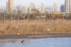 черный аист Стоковая Фотография