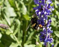 Черный бархат путает пчела стоковая фотография rf