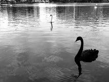 Черный белый лебедь на озере стоковые изображения rf