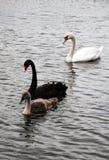 Черный, белый и серый лебедь Стоковое Фото