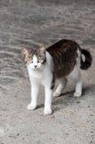 Черный белый кот смотря в камеру Стоковые Фотографии RF