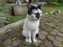 Черный белый кот Стоковые Фото