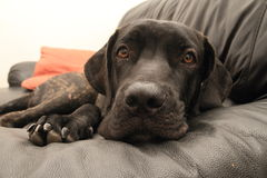 Черный бразильский щенок mastiff на софе Стоковые Изображения RF