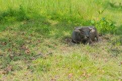 Черный буйвол Стоковые Изображения RF