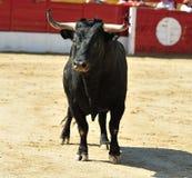 Черный бык в кольце корриды Стоковые Изображения RF