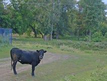 Черный бык стоит на дороге деревни Стоковое фото RF