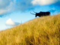 Черный бык Стоковая Фотография RF