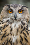черный вектор сыча чернил иллюстрации орла чертежа Стоковые Фото